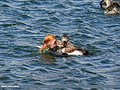 Red-crested Pochard (Netta rufina) & Gadwall (Anas strepera) (23912217748).jpg