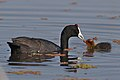 Red-knobbed Coot (or Crested Coot), with young, at Marievale Nature Reserve, Gauteng, South Africa (44504920074).jpg