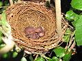Red-vented-bulbul-hatchlings.jpg