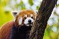 Red Panda (37832777444).jpg