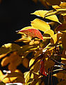 Red and yellow leaves (8856783991).jpg