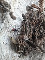 Red belly spider 2020 arlington texas (1) 06.jpg