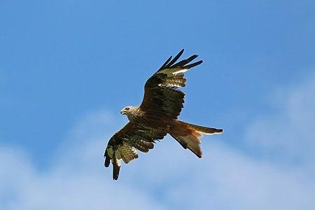 Red kite (Milvus milvus) hunting