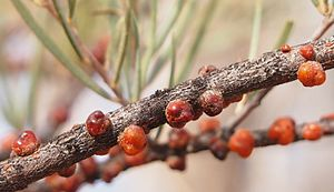 Lerp (biology) - Red lerps (Austrochardia acaciae) on Mulga, Central Australia