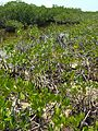 Red mangroves grading into buttonwood scrub - Flickr - pellaea.jpg