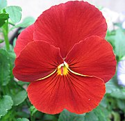 A solid red coloured cultivar.