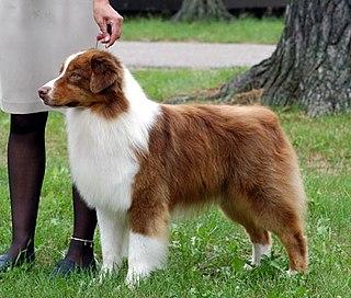 Australian Shepherd Shepherding dog breed from the USA
