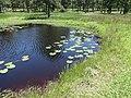 Reed Bingham State Park, water lilies.JPG