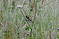 Reed Bunting (Emberiza schoeniclus) - geograph.org.uk - 880101.jpg