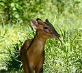 Reeve's Muntjac. Muntiacus reevesi - Flickr - gailhampshire (1).jpg