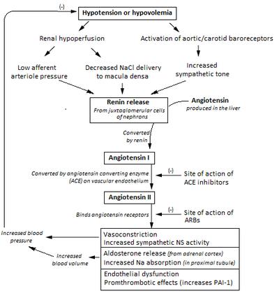 Renin Angiotensin System Wow Com