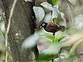 Rhegmatorhina gymnops - Bare-eyed Antbird - male.jpg