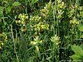 Rhinanthus serotinus blomstring.JPG