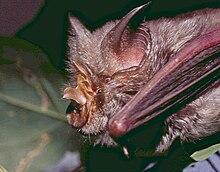 Ein Hufeisenschläger im Profil, dessen linker Flügel der Kamera am nächsten liegt.  Die Sella wird aus diesem Winkel ausgesprochen und ragt direkt aus der Mitte des Nasenblatts heraus.  Die Fledermaus hat ein graubraunes Fell und die Haut am Unterarm ist rosa.