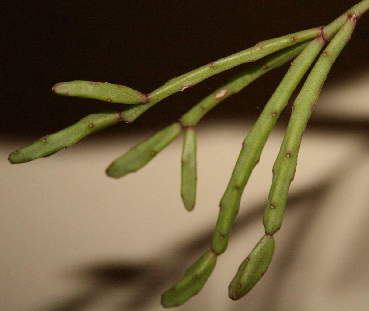 Rhipsalis Ewaldiana Wikispecies