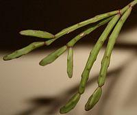 Rhipsalis ewaldiana.JPG