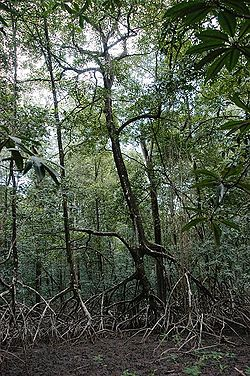 Pohon bakau, Rhizophora racemosa.