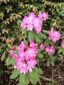 Rhododendron, another angle.JPG