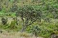 Rhododendron arboreum tree by Prarthana Mahipala.jpg