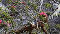 Rhododendron rugosum.jpg