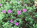 Rhododendron saluenense 1.jpg