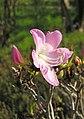 Rhododendron schlippenbachii (1).jpg