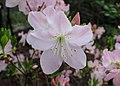 Rhododendron schlippenbachii kz03.jpg