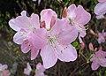 Rhododendron schlippenbachii kz05.jpg