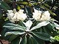 Rhododendron sinogrande.jpg