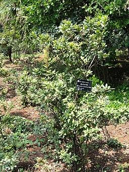 Rhododendron spinuliferum - Kunming Botanical Garden - DSC02863