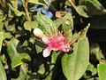 Rhodomyrtus tomentosa - Downy rose-myrtle at Mannavan Shola, Anamudi Shola National Park, Kerala.jpg