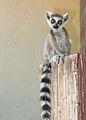 Ring Tail Lemur in Berenty (2269694846).jpg