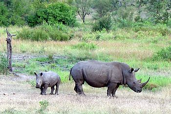 Fêmea de rinoceronte-branco e filhote, Singita Lodge, Limpopo, África do Sul.