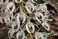 Rock Orchid - Thelychiton speciosus (7977925423).jpg