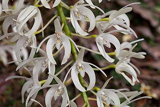 <i>Dendrobium speciosum</i> species of plant