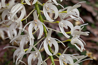 Dendrobium speciosum - Image: Rock Orchid Thelychiton speciosus (7977925423)