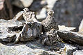 Rock Ptarmigan and Chicks - Lagopus muta (21297833428).jpg