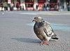Rock dove (Columba livia) standing on place de la Bourse, Brussels, Belgium (DSCF4425).jpg