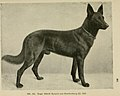 Roland von Starkenburg German Shepherd Dog.jpg