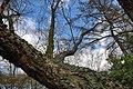 Rombergpark-100331-11666-Betula-nigra.jpg
