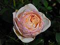 Rosa 'Alexandrine' 01.jpg