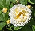 Rosa 'Taxandria' (d.j.b) 02.jpg