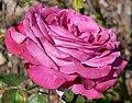 Rosa Blue Chip 1.jpg