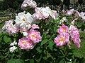 Rosa Celsiana 1.JPG