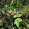Rosa canina fruit (21).jpg