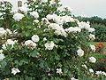 Rosa sp.301.jpg