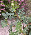 Rosa spinosissima inflorescence (82).jpg
