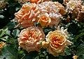Rosarium Baden Rosa 'Bentheimer Gold' Kordes 2015 02.jpg