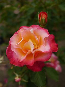 Rose, Granada, ??, ????, (13158841875)