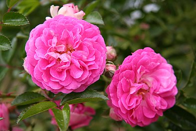 Rose Dorothy Perkins 20070601.jpg